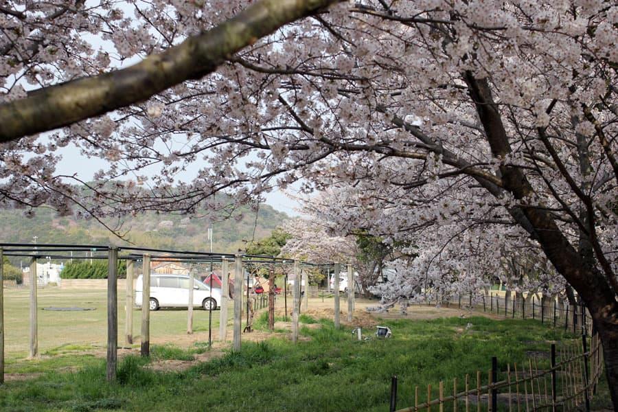 湖畔に沿って咲く桜